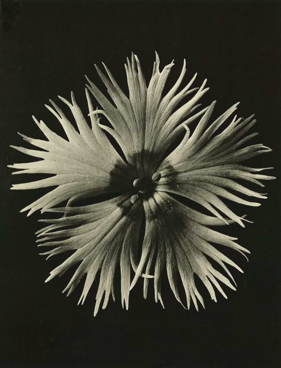 All images part of Wundergarten der Natur,1932; © Estate of Karl Blossfeldt, Courtesy Hayward Touring | Karl Blossfeldt: Art Forms in Nature | Friday 20 July  – Sunday 2 September 2018 | Limerick City Gallery of Art