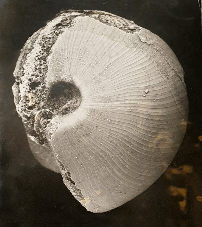 Goniatite fossil, photographic print, photographed by Veronica Burns (1914-1998), former Curator Trinity Geological Museum. Digital image reproduction Anne Kelly. © Image courtesy of the Trinity Geological Museum, TCD | In the Age of Conscious Makers | Monday 4 November 2019  – Monday 6 January 2020 | NCAD Gallery